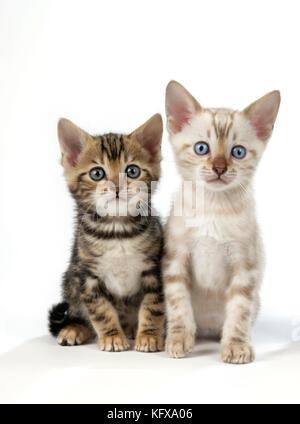 CAT. Snow Marble & Brown Marble blue-eyed Bengal kittens - 6 weeks old