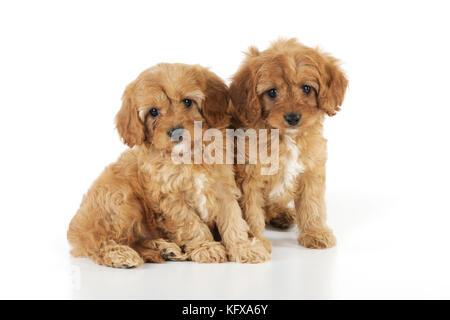 DOG. Cockerpoo puppies (Poodle X Cocker Spaniel ) 7 wks old - Stock Photo