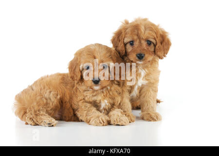DOG. Cockerpoo puppies (Poodle X Cocker Spaniel ) 7 wks old - Stock Photo