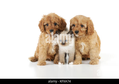 DOG. Cockerpoo puppies (Poodle X Cocker Spaniel 7wks old) with a kitten - Stock Photo