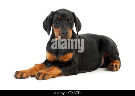 Dog. Dobermann puppy - Stock Photo