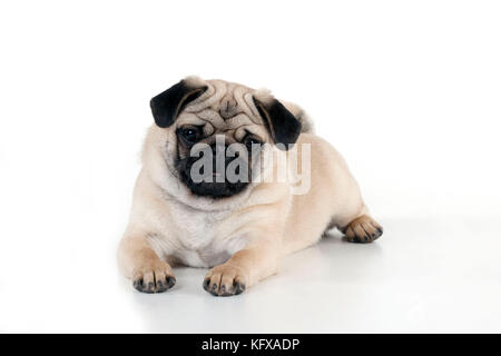 DOG - Pug puppy laying down - Stock Photo