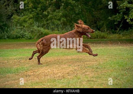DOG - Irish setter running . - Stock Photo