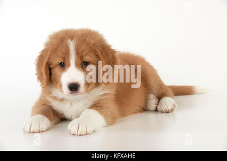 DOG - Nova Scotia Duck Tolling Retriever puppy ( 7 weeks old )  . - Stock Photo