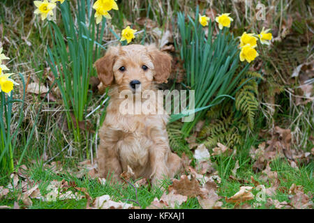 Dog - Cockerpoo 7 week old puppy - Stock Photo