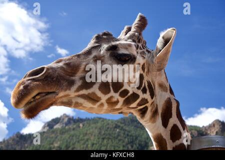 Upclose and personal with a Giraffe - Stock Photo