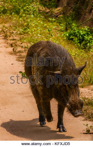 Wild boar (pig), Yala National Park, Southern Province, Sri Lanka. - Stock Photo