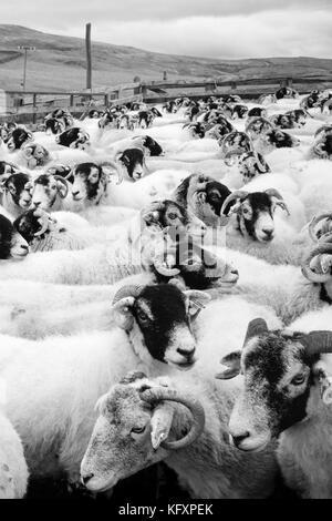 Kettled Swaledale sheep above Settle, Yorkshire Dales National Park, UK - Stock Photo