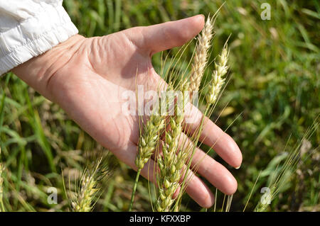 Female hand holding ears of wheat and rye on the field. - Stock Photo