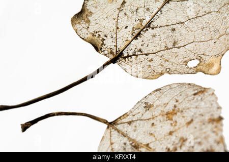 Closeup of leaf veins - fragments of two leaves isolated on white background - Stock Photo