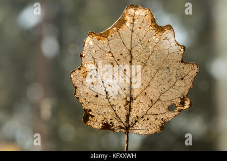 Golden structure of a leaf partially decomposed during winter - silhouette on greenish  background - Stock Photo
