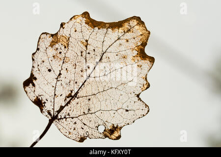 Golden structure of a leaf partially decomposed during winter - silhouette on white  background - Stock Photo