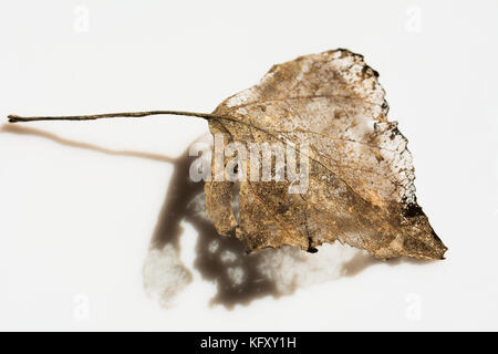 Dry leaf partially decomposed during winter - golden skeleton with its shadow on white background - Stock Photo