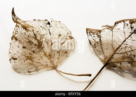 Two leaves partially decomposed during winter - golden silhouettes on white  background - Stock Photo