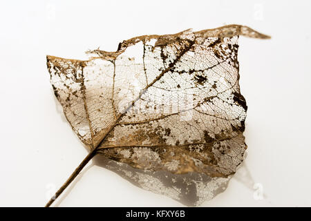 Intricate structure of a leaf partially decomposed during winter - veins on white  background - Stock Photo