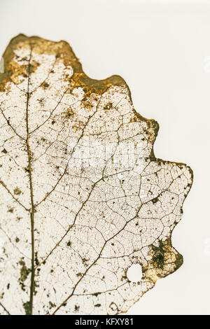 Golden leaf partially decomposed during winter - vein structure on white  background - Stock Photo