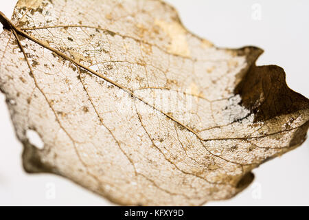 Veins of a leaf partially decomposed during winter - golden structure on white background - Stock Photo