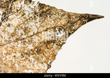 Closeup of an intricate structure of a leaf partially decomposed during winter - Stock Photo