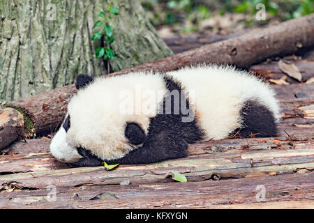 Baby of Giant Panda sleeps in the park. - Stock Photo