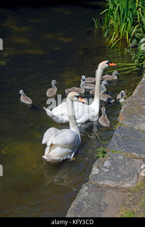 Pair of mute swans with ten cygnets - Stock Photo