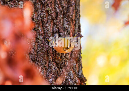 Goldcrest on a tree trunk of bright colors - Stock Photo