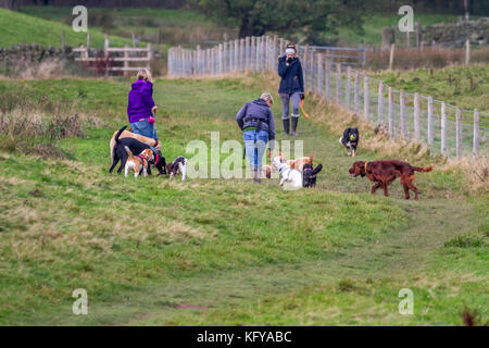 Dog walkers with a big pack of dogs in a field with another woman and collie approaching, UK - Stock Photo