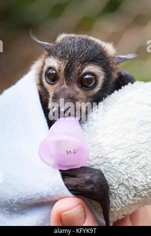 Spectacled Flying-fox (Pteropus conspicillatus). Orphaned male in care: approx. 7weeks old. Port Douglas. Queensland. - Stock Photo