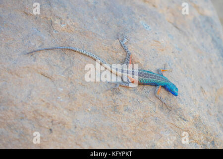 A Broadley's flat lizard, locally known as the Augrabies flat lizard, sunning itself on a rock at Augrabies Falls - Stock Photo