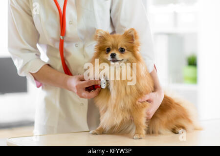 Veterinarian doctor using stethoscope during examination in veterinary clinic. Dog pomeranian Spitz in veterinary - Stock Photo