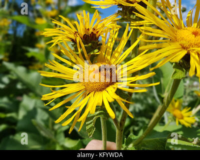 Alant; Bluete; Inula Helenium - Stock Photo