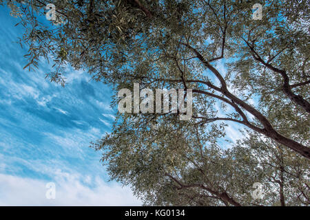 Under olive tree, low angle view of old fruit treetop in orchard against the sky - Stock Photo