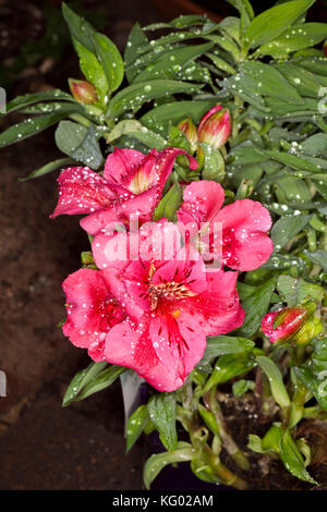 Cluster of deep pink flowers of Alstroemeria 'Feline'', Princess / Peruvian lily with raindrops on petals, on background - Stock Photo