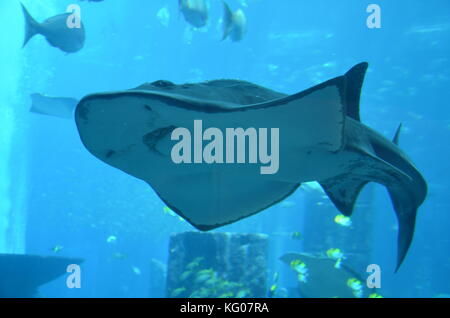 Large stingray in an aquarium in Atlantis the Palm Dubai. - Stock Photo