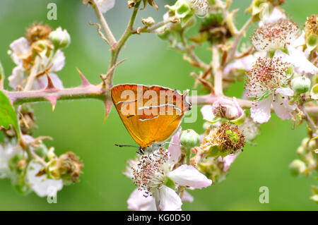 Brown hairstreak Butterfly 'Thecla betulae' .Female on Blackberry blossom.  hedgerows with abundant Blackthorn.Flies - Stock Photo