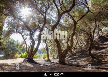 Olive grove, trees with twisted trunks, shadows and light play under the trees with dense wide-spreading crowns. - Stock Photo