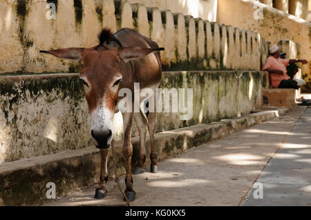 Donkey being used for a transportation of goods on the Lamu archipelago standing by the wall of the fort in the - Stock Photo
