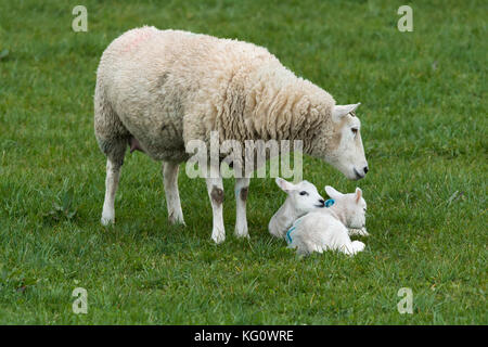 Close-up of 1 sheep (ewe) & 2 lambs in a farm field in springtime. Youngsters are snuggled together on grass, Mum - Stock Photo