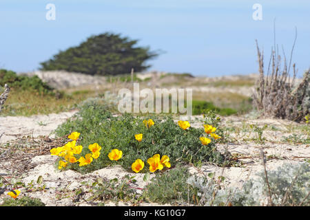 Bright orange flowers of a clump of California poppies (Eschscholzia californica variety maritima) growing on a - Stock Photo