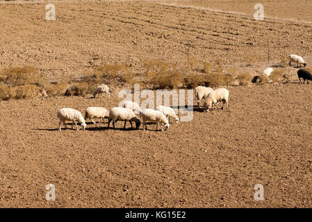 Sheep grazing on the Lasithi plateau. Crete Greece.  October 2017 - Stock Photo
