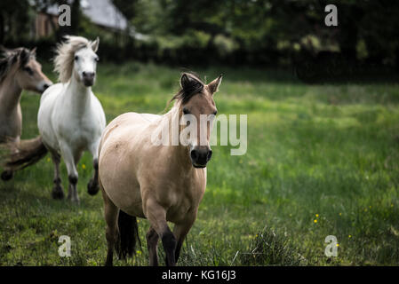 Horses running together in the French countryside - Stock Photo
