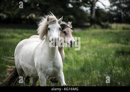 Horses running together at speed in the French countryside - Stock Photo