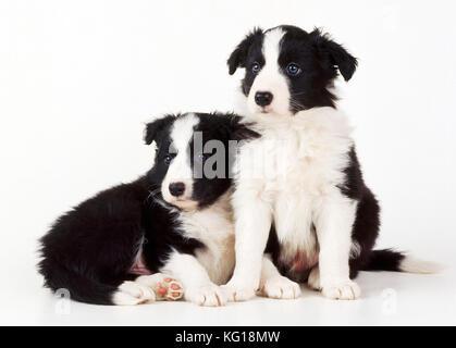 Border Collie Dog - x2 puppies - Stock Photo