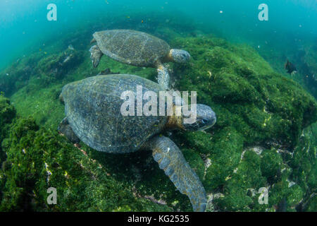 Pacific green sea turtles (Chelonia mydas) underwater on Fernandina Island, Galapagos, Ecuador, South America - Stock Photo