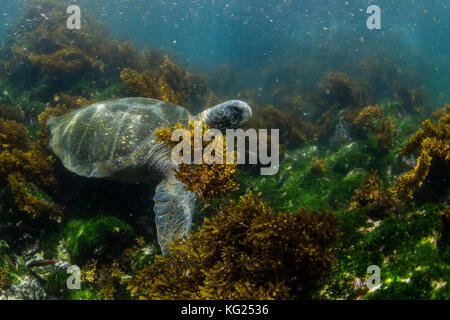 Pacific green sea turtle (Chelonia mydas) underwater on Fernandina Island, Galapagos, Ecuador, South America - Stock Photo