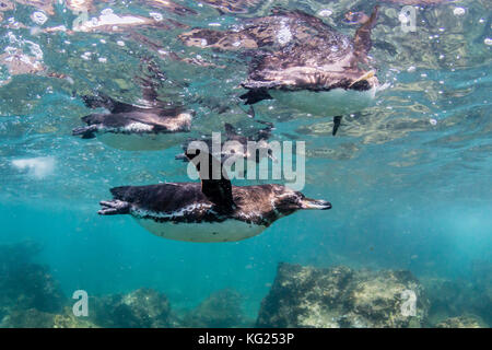 Galapagos penguins (Spheniscus mendiculus) swimming underwater at Bartolome Island, Galapagos, Ecuador, South America - Stock Photo