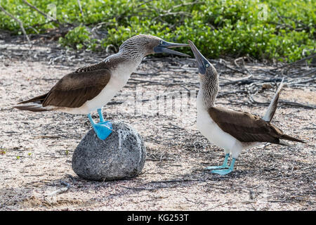 Blue-footed booby (Sula nebouxii) pair in courtship display on North Seymour Island, Galapagos, Ecuador, South America - Stock Photo