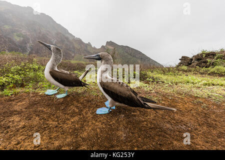 Blue-footed booby (Sula nebouxii) pair in courtship display on San Cristobal Island, Galapagos, Ecuador, South America - Stock Photo