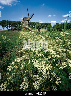 Windmill Ouderkerk aan de Amstel,  Noord-Holland, Netherlands *** Local Caption ***  Windmill, Flowers, Spring, - Stock Photo