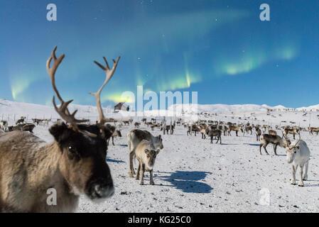 Close up of a reindeer under the Northern Lights (Aurora Borealis), Abisko, Kiruna Municipality, Norrbotten County, - Stock Photo