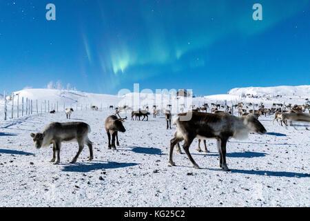 Flock of reindeer under Northern Lights (Aurora Borealis), Abisko, Kiruna Municipality, Norrbotten County, Lapland, - Stock Photo